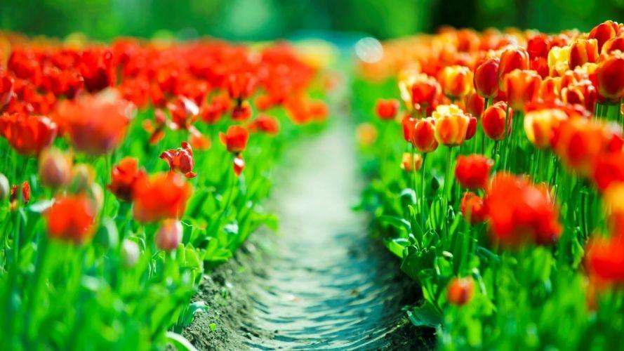 tulips f wallpaper