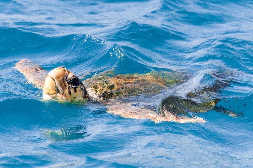 turtle water swim wallpaper