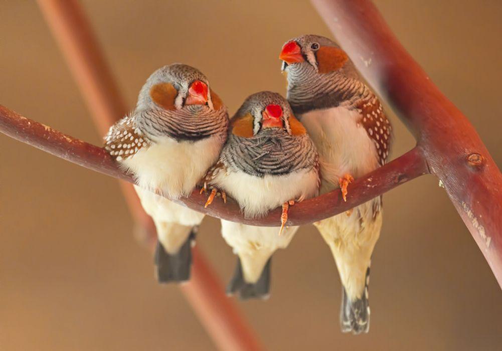 Zebra finch trio birds wallpaper