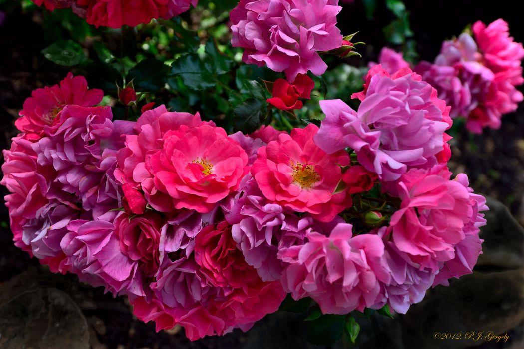 roses rose bush petals wallpaper
