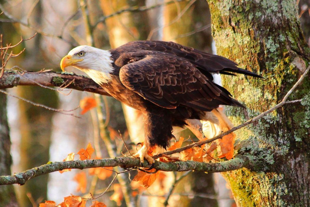 Bald Eagle bird predator tree branches autumn wallpaper