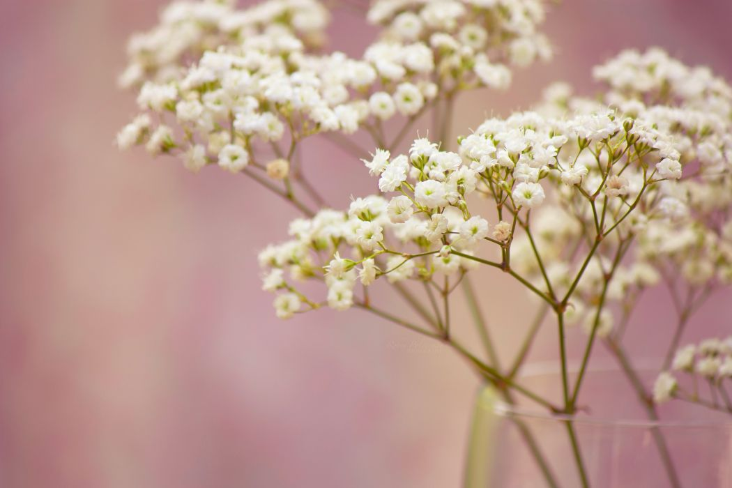 branch baby's breath flowers white small wallpaper