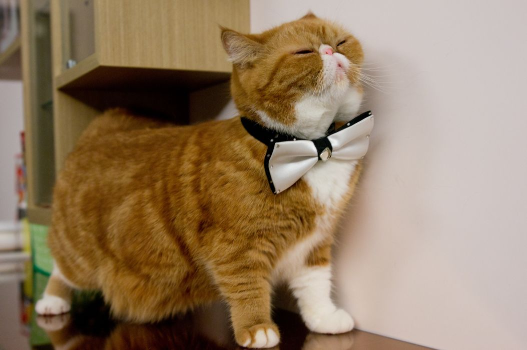 cat exotic butterfly gentleman wallpaper