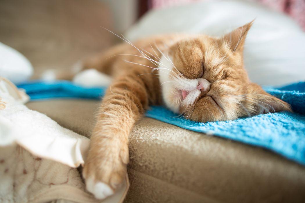 cat exotic sleep   u wallpaper