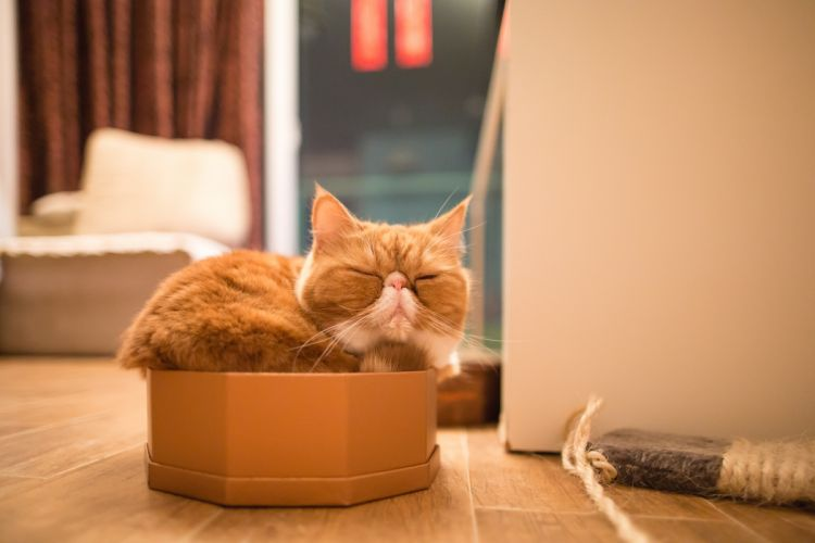 cat exotic sleep wallpaper