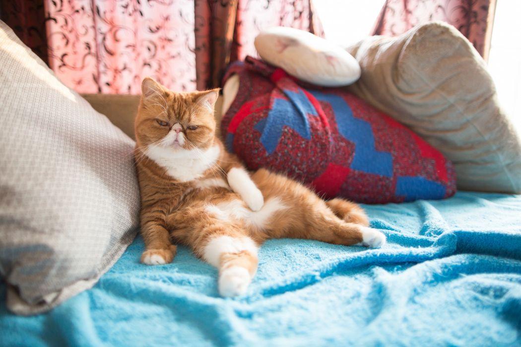 cat exotic wallpaper