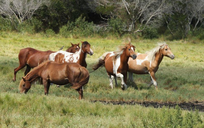 Chincoteague ponies Assateague ponies wild horses horse wallpaper