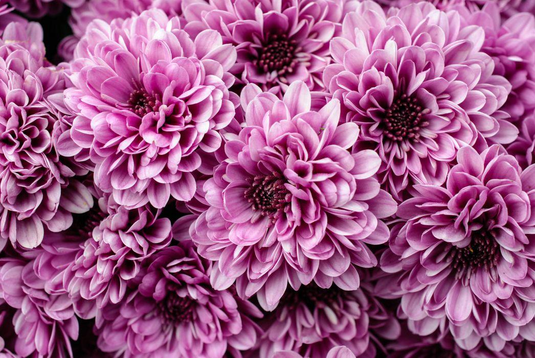 chrysanthemum close-up wallpaper