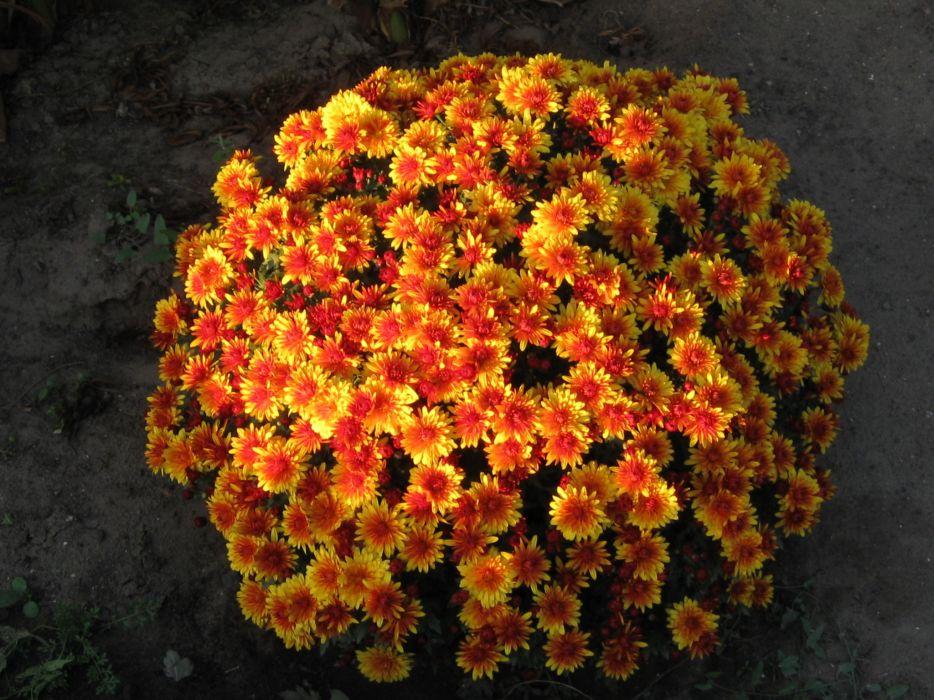 Chrysanthemums Many Orange Flowers wallpaper