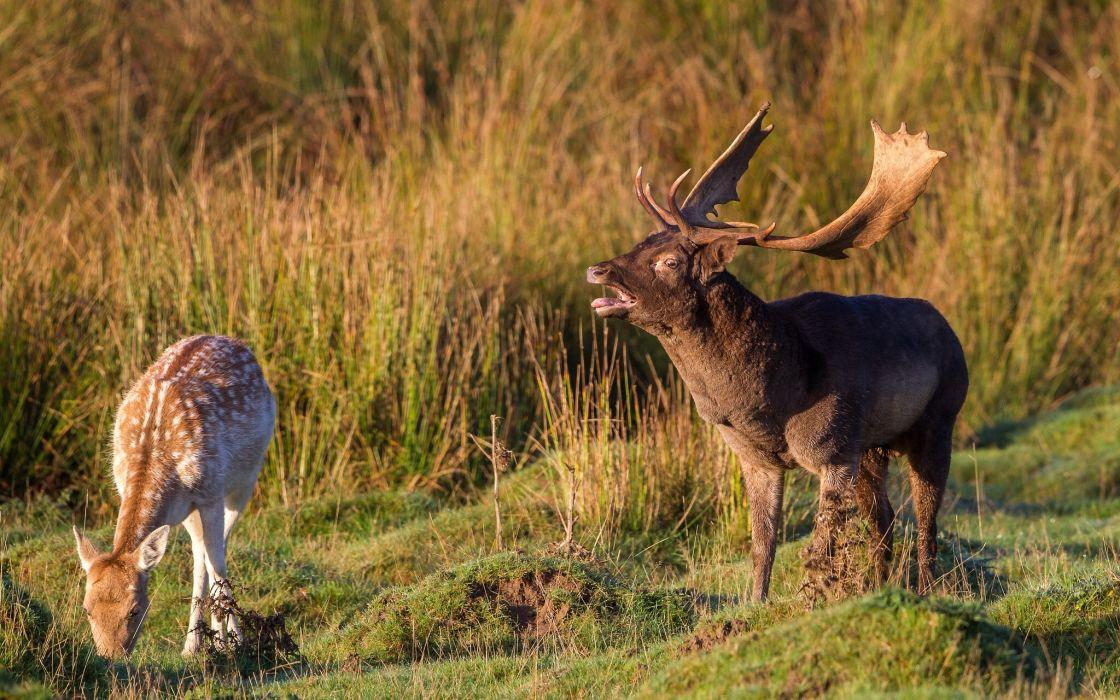 couple deer wallpaper