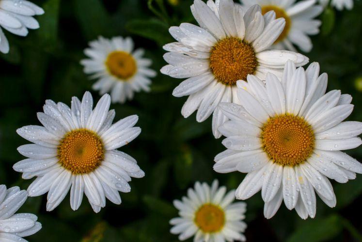 daisy macro drops wallpaper