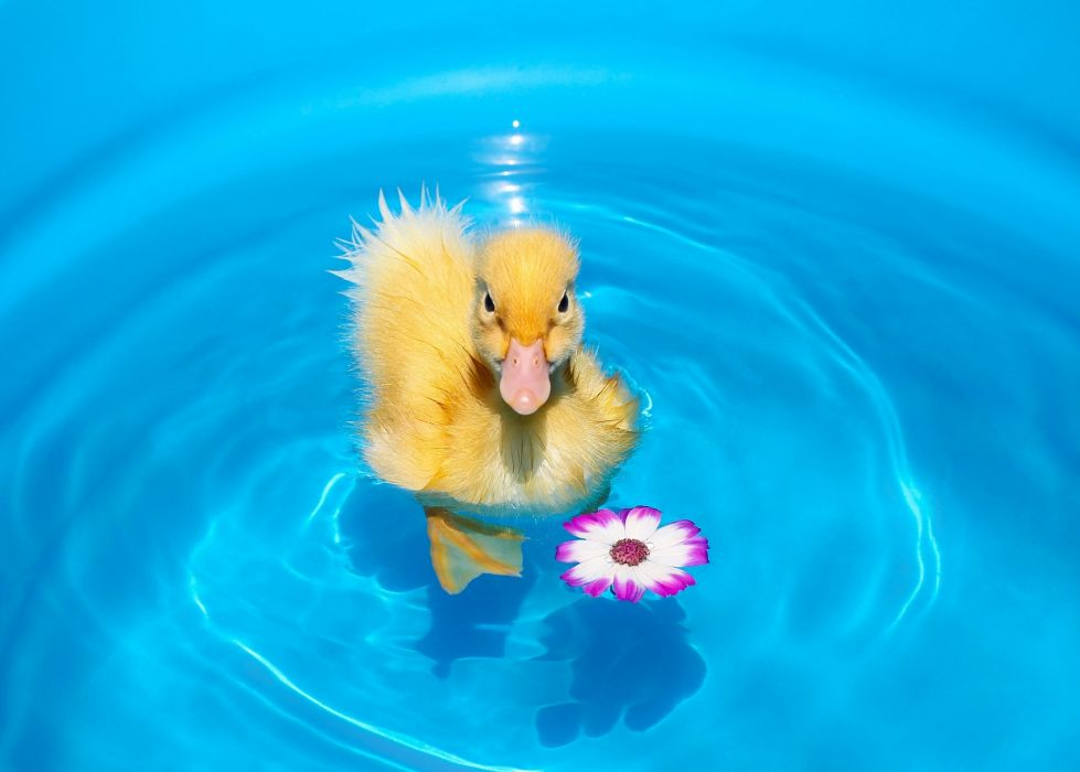 duckling chick flower water wallpaper