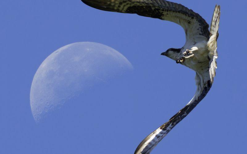 Falcon eagle flying moon wallpaper