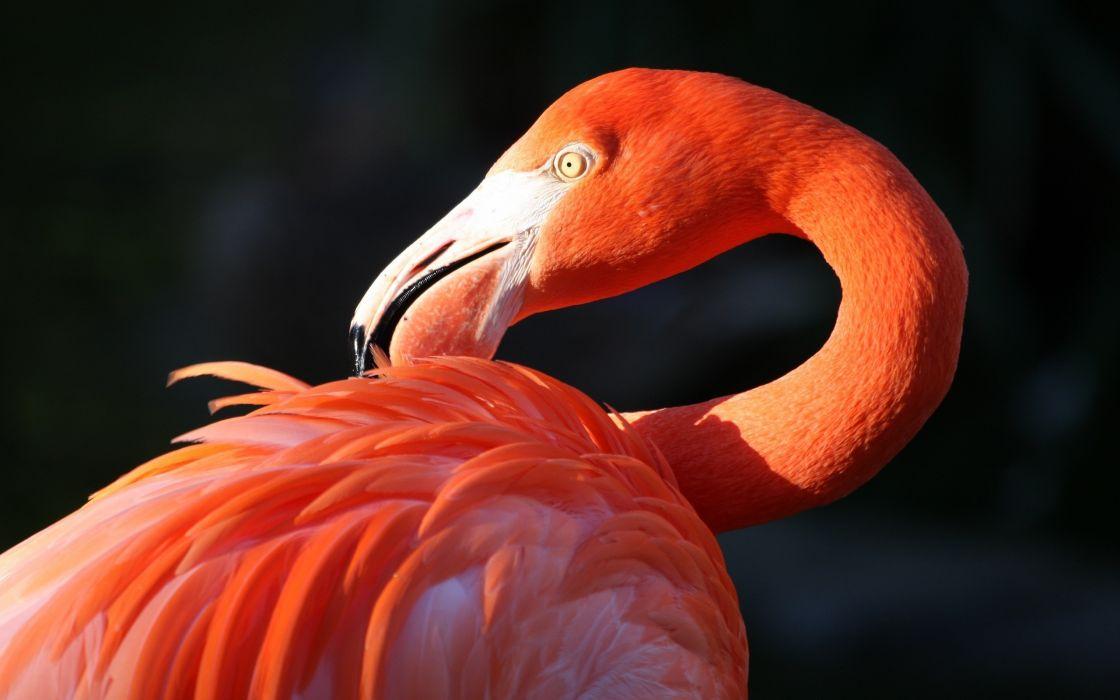 flamingo bird beak wallpaper
