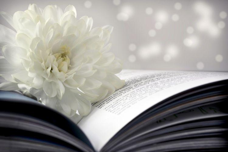 flower chrysanthemum white book page bokeh wallpaper