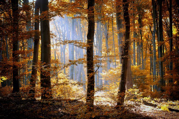forest autumn foliage trees leaves orange yellow light nature wallpaper
