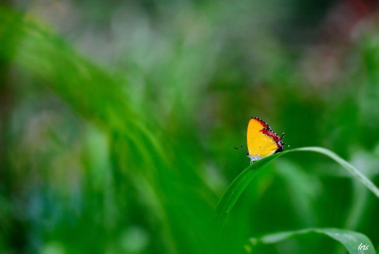 green grass blade of grass butterfly focus yellow wallpaper