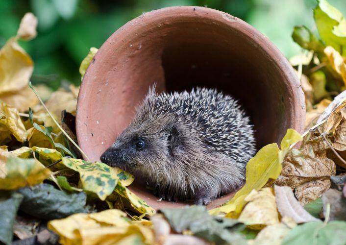 hedgehog leaves autumn gg wallpaper