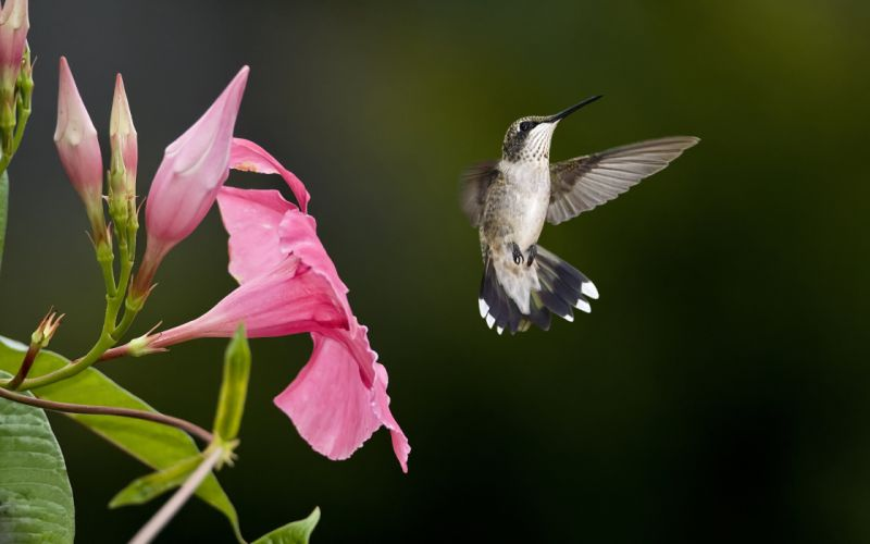 hummingbird f wallpaper