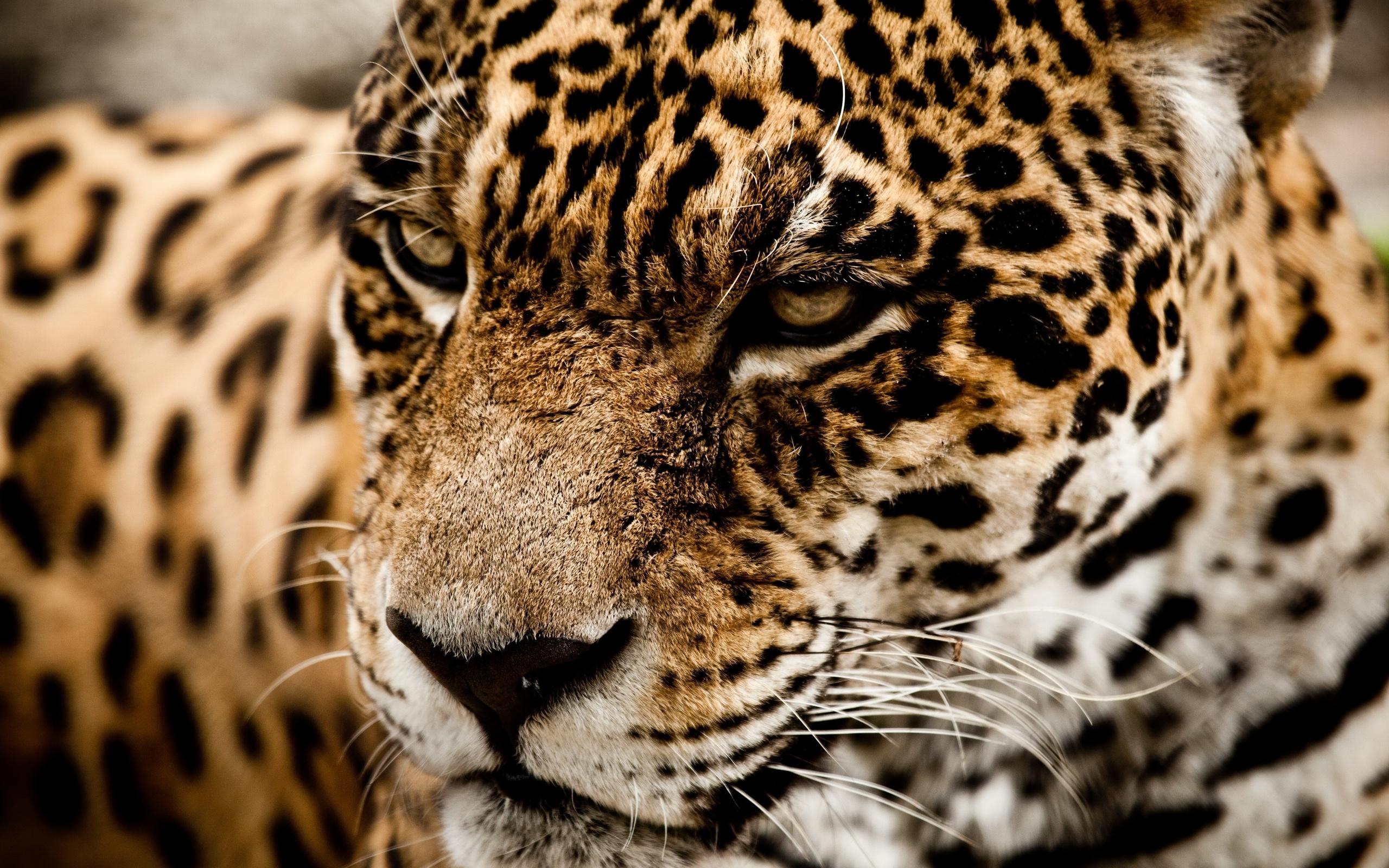 jaguar wild cat muzzle l wallpaper | 2560x1600 | 166512 | wallpaperup