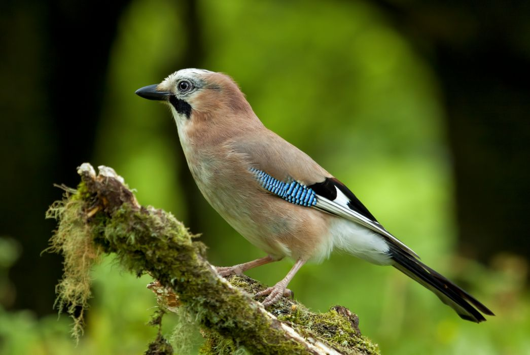 Jay bird nature     g wallpaper