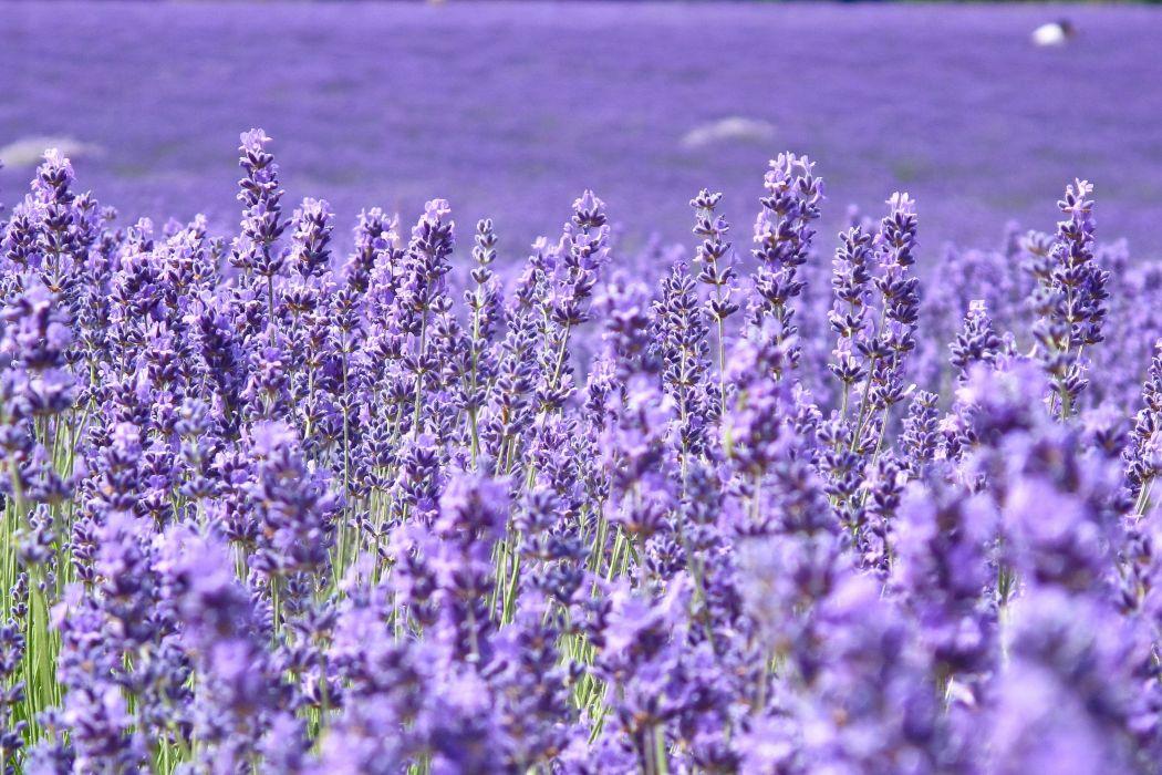 Lavandula Many Closeup Violet Flowers wallpaper