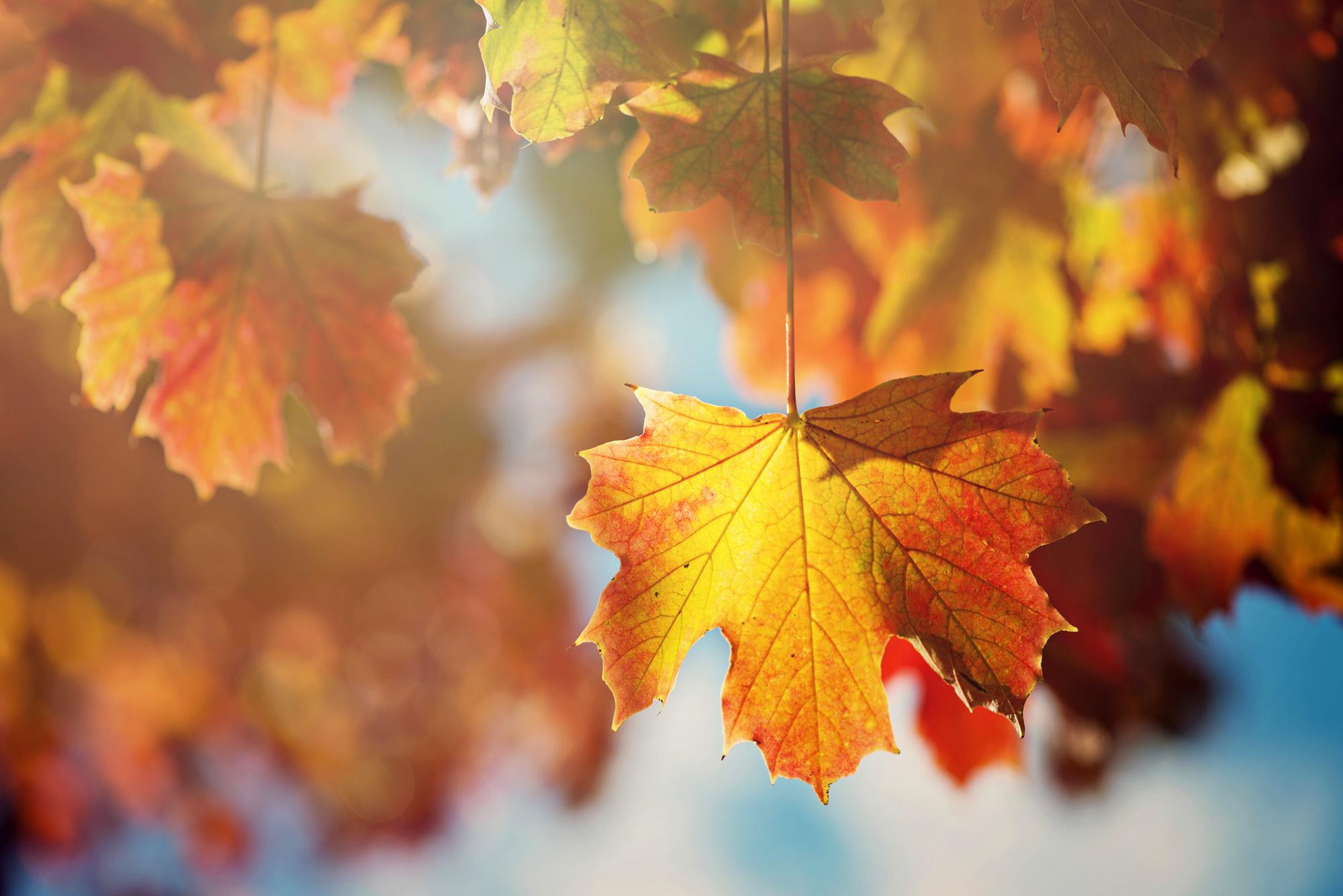 leaves leaf tree autum...