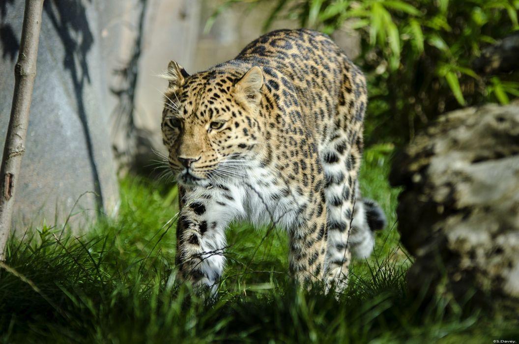 leopard wild cat wallpaper
