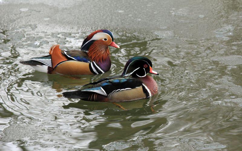 mandarin duck bird wallpaper