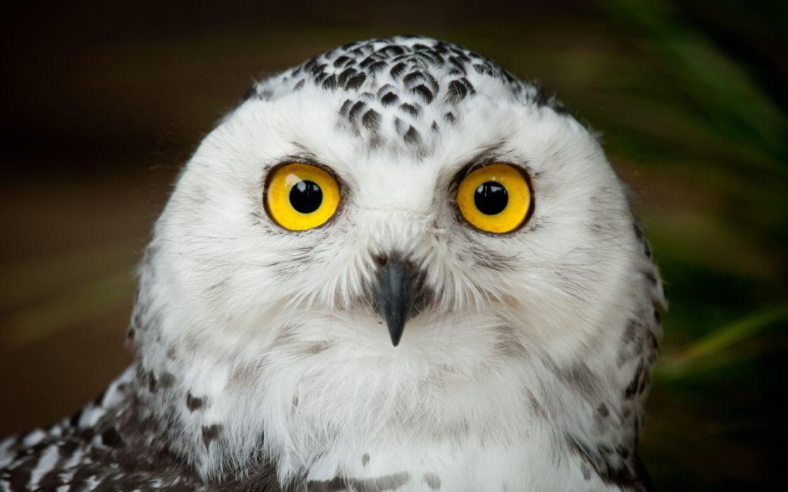 owl bird head eyes    g wallpaper