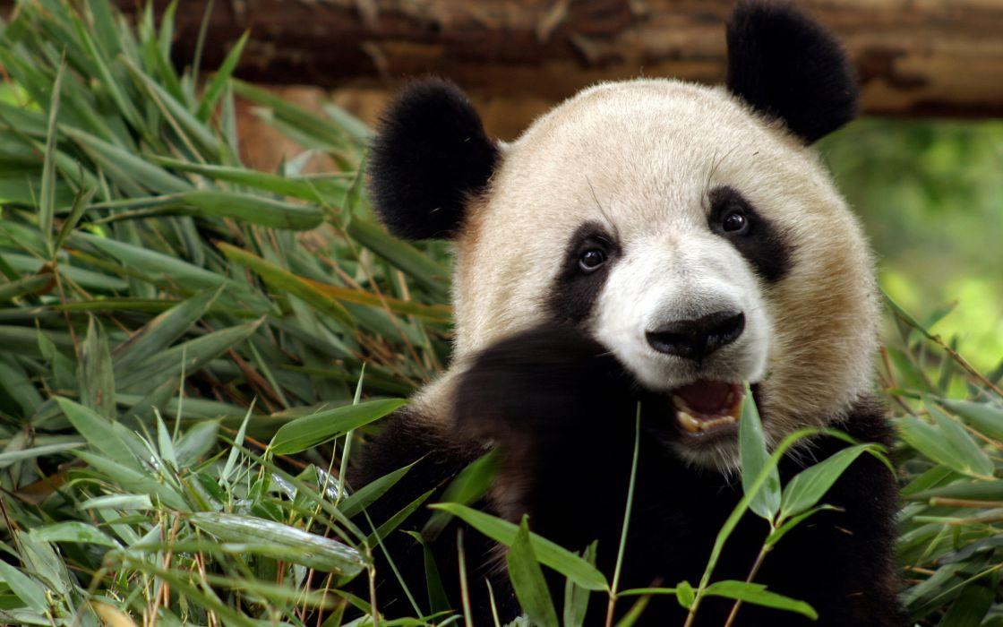panda bear bamboo china wallpaper