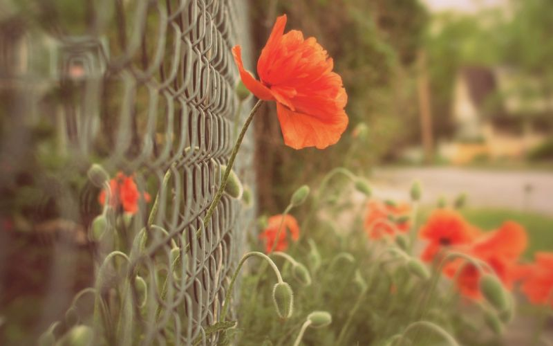 Poppies Closeup Fence Flowers wallpaper