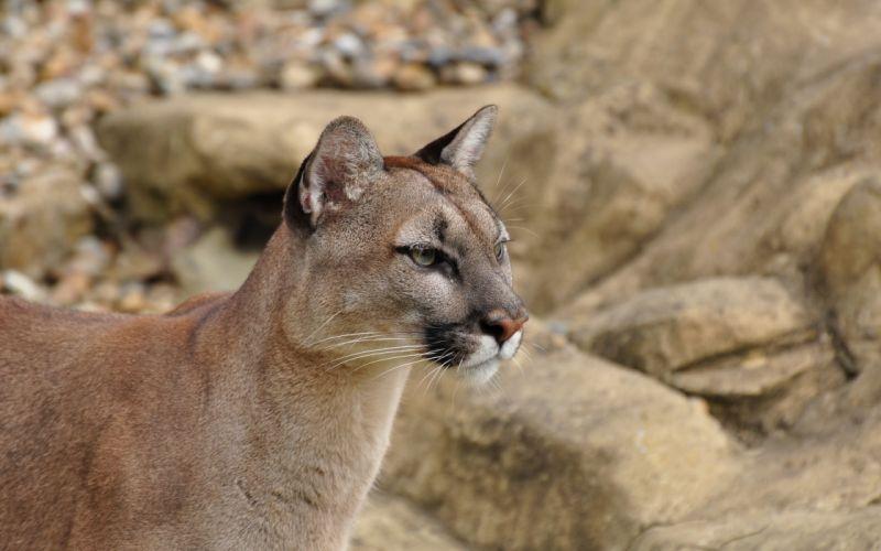 puma cougar mountain lion wild cat wallpaper