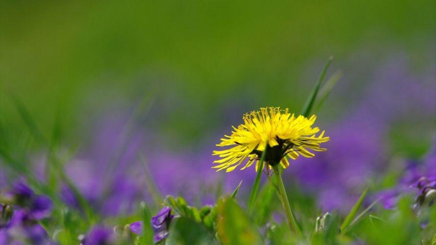 summer dandelion blur grass macro flowers wallpaper