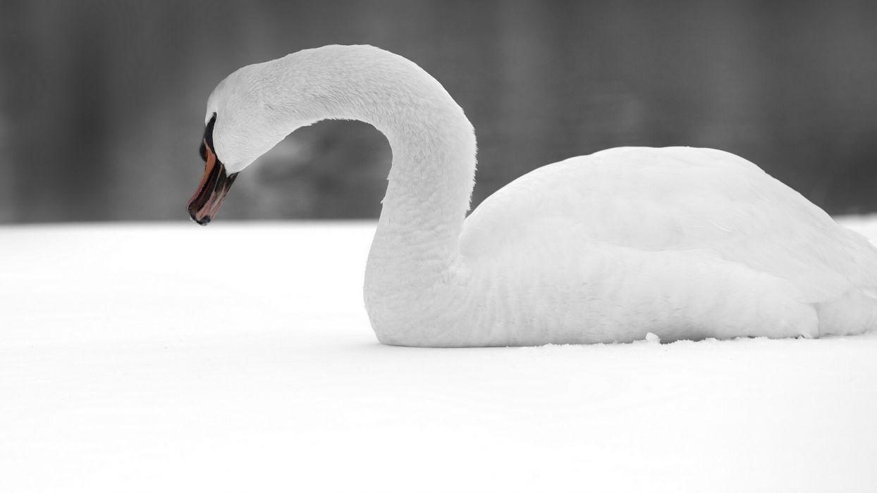 swan bird snow wallpaper