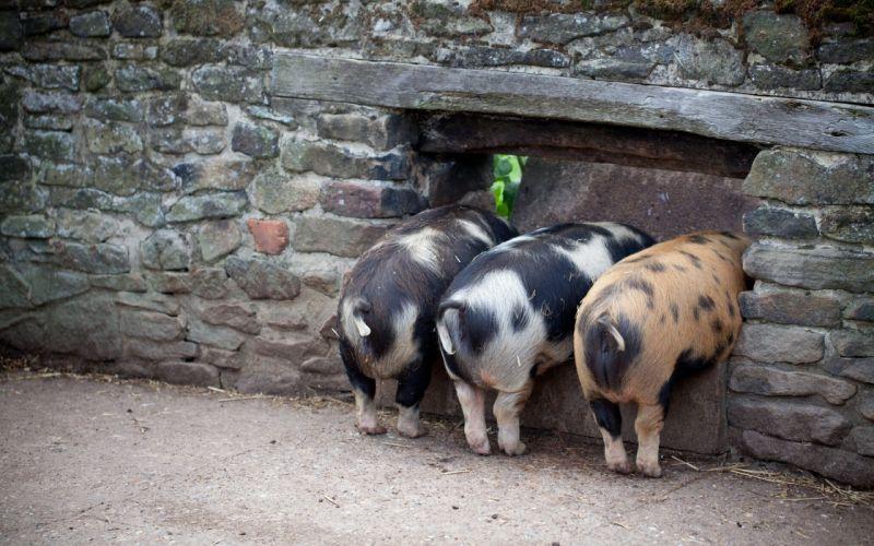 Three Little Pigs pig wallpaper