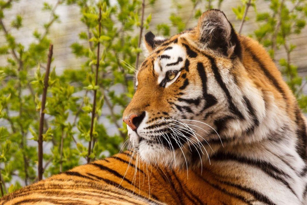 tiger wild cat wallpaper