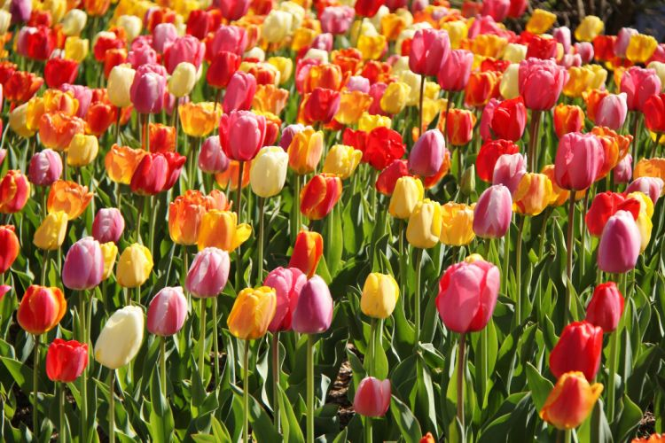 tulips buds wallpaper