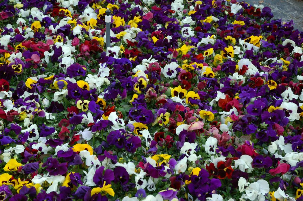 Violets Many Pansies Flowers wallpaper