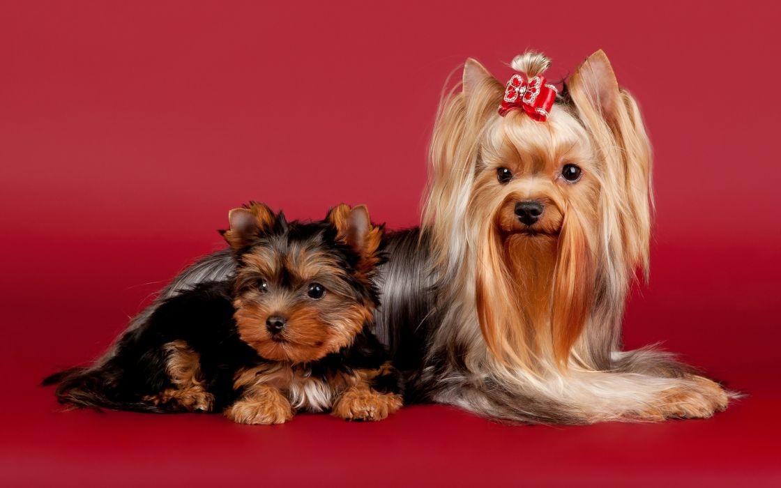 Yorkshire Terrier beauty bow wallpaper