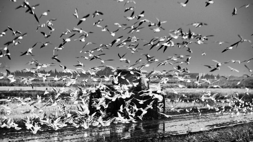 Birds B-W Seagulls wallpaper