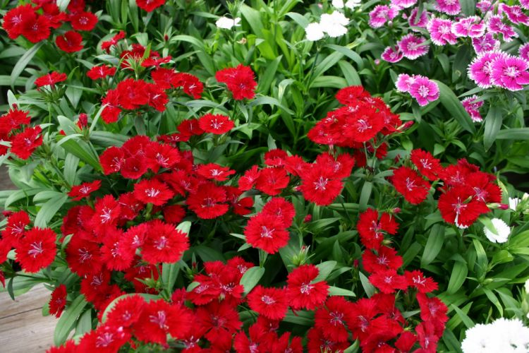 Carnations Many Red Flowers wallpaper