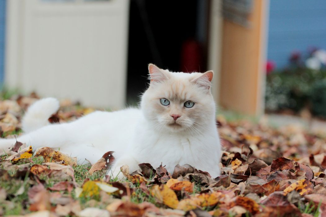 cat foliage autumn       g wallpaper