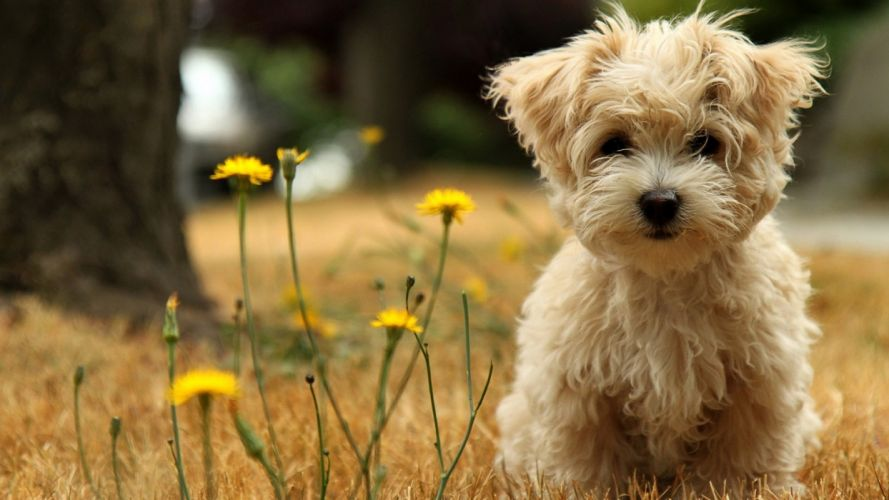 dog puppy white flowers wallpaper