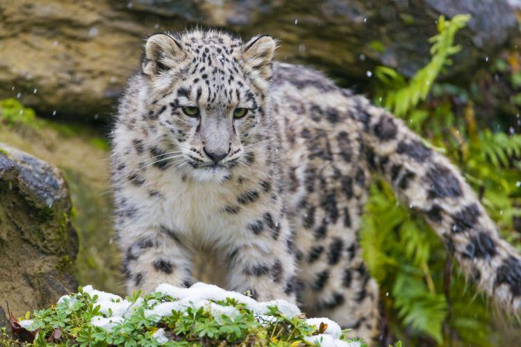 kitten snout snow leopard wallpaper