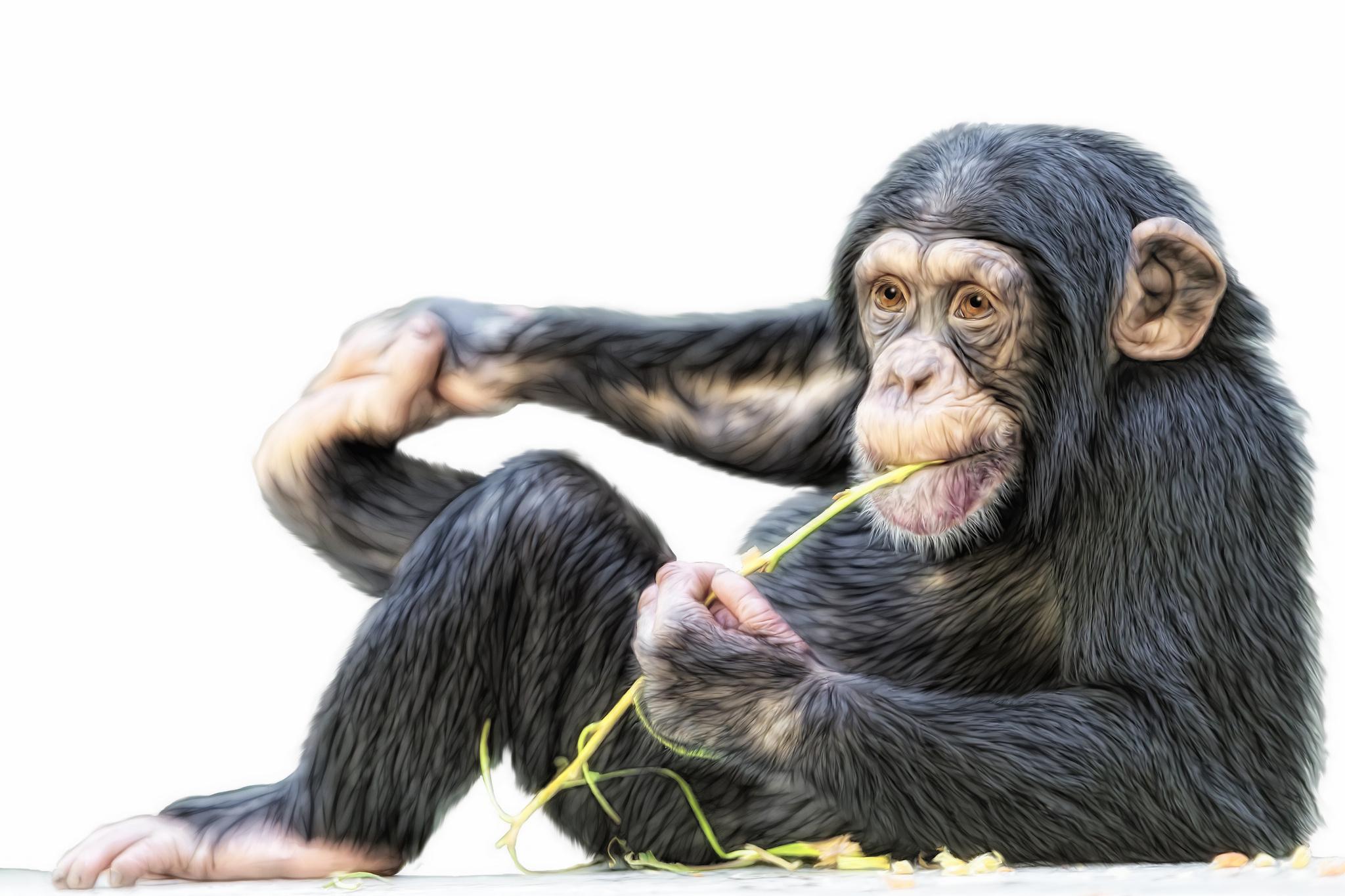 Monkey chimpanzee wallpaper 2048x1365 166994 wallpaperup