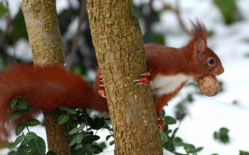 red wood walnut squirrel wallpaper