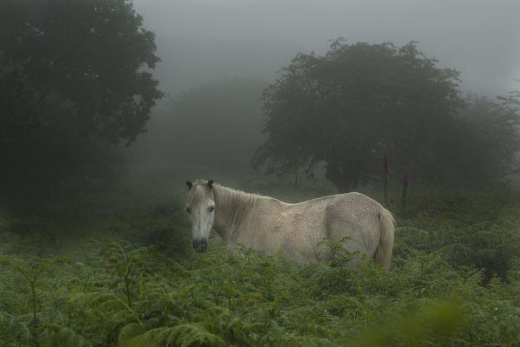 Wild Dartmoor pony wallpaper