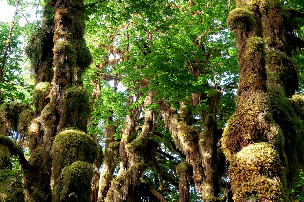 forest trees moss nature wallpaper