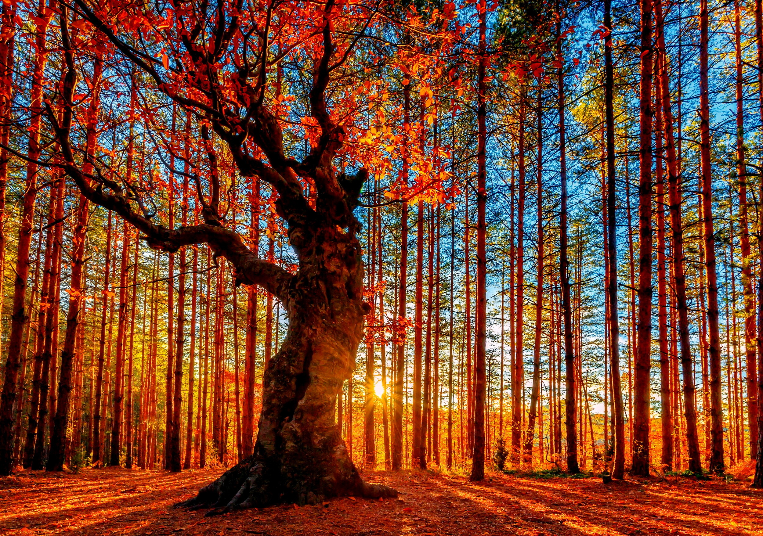 Forest Sky Trees Autumn Foliage Wallpaper